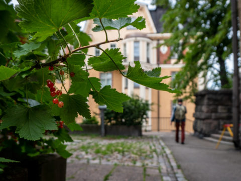 Marjapensas kasvaa keskellä kivistä kaupungin katua.